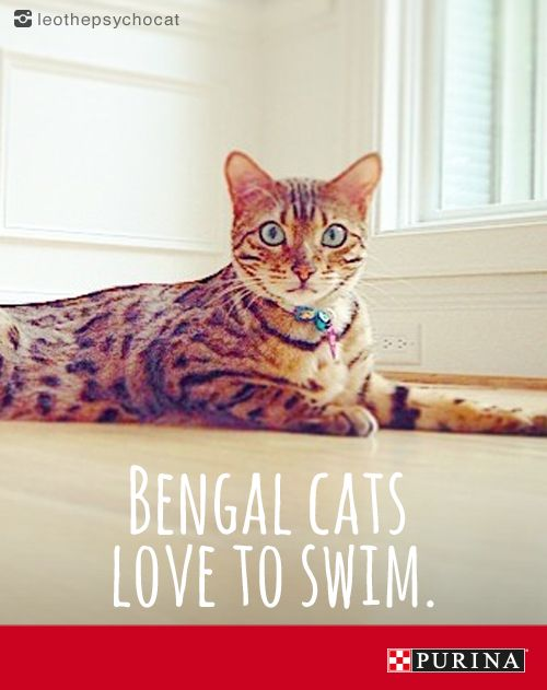 Bengal cats are on of the most popular cat breeds.  Visit Purina.com to read more about these playful and affectionate cats.