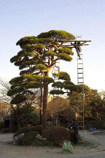 Landscaper, Aichi Prefecture, Japan.  Perfection does not just happen.