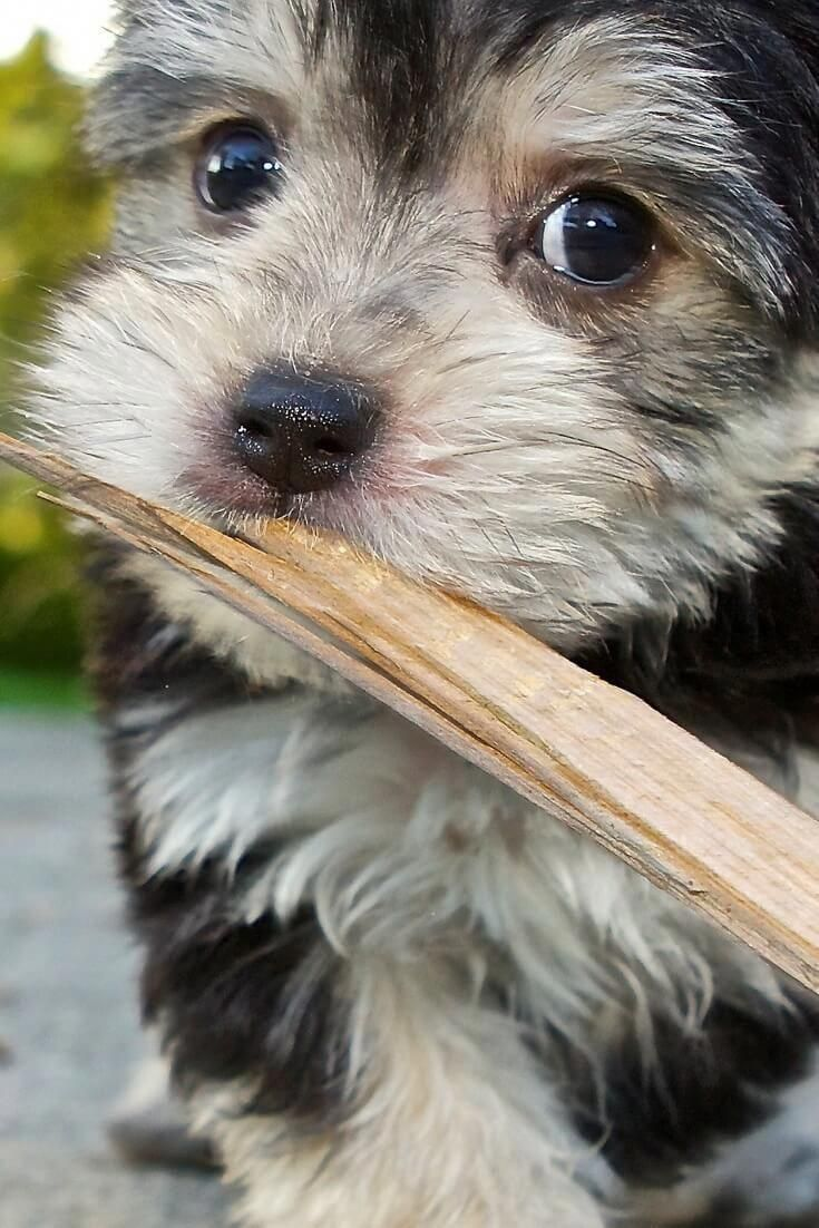 How To Train My Morkie Puppy Morkie Puppytraining Morkie Puppies Morkie Puppies