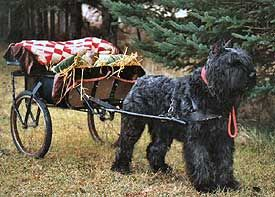 The Bouvier des Flandres, commonly mistaken for the Giant Schnauzer, is an ancient working breed.  An all around farm dog, the Bouvier (Boo-vee-ae), is a cart pulling, herding, military, police, and home guardian dog.  Gentle with children, highly intelligent, and shedding almost nothing, they make an excellent family dog too.