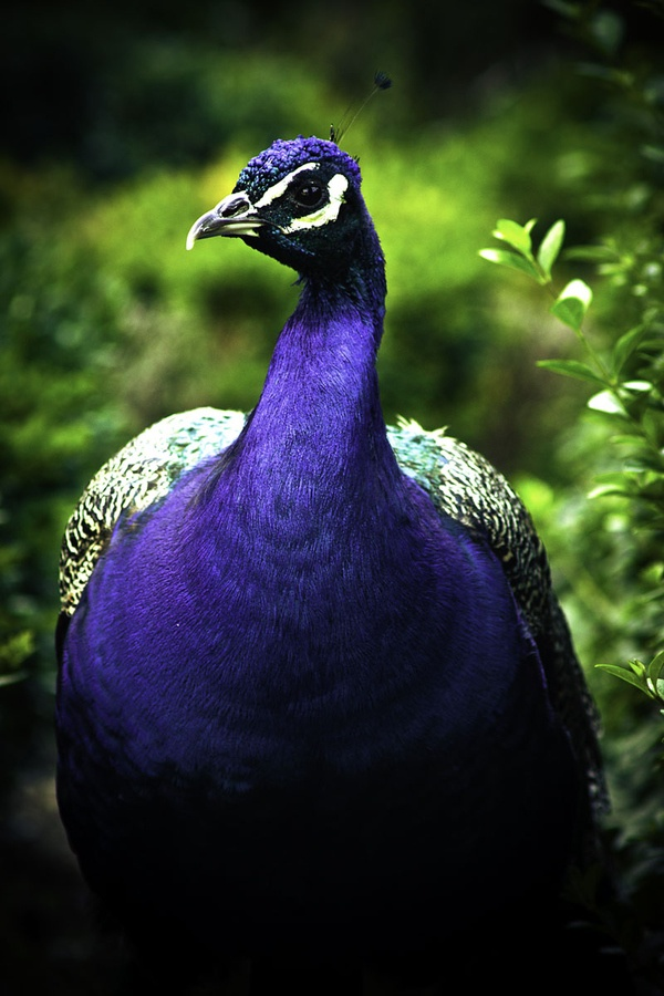A Purple Peacock, very royal indeed