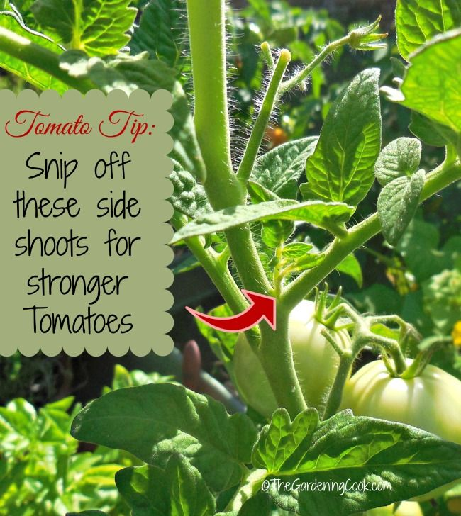 Tomato Tip: Be sure to snip off these side shoots for stronger tomato plants.  See more tips for growing tomatoes at http://thegardeningcook.com/tips-growing-great-tomatoes/