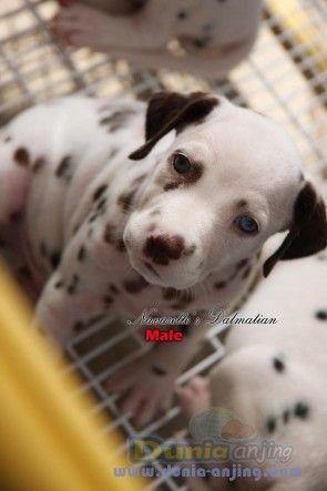 all about collies,Shih Tzus,Beagles,dashhund,And Dalmatiuns | Anjing | Jual Anjing Dalmatian - Dijual 3 Ekor Anak Anjing DALMATIAN