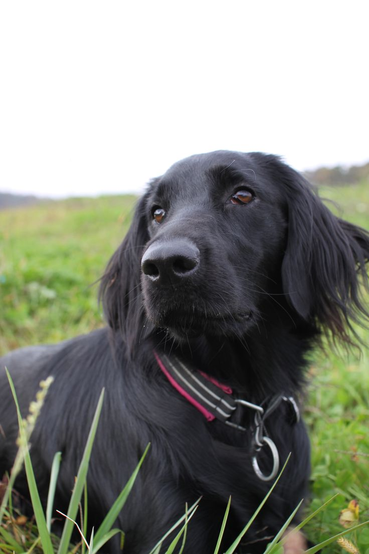 69 best dogs images on Pinterest | Flat coated retriever, Animals ...
