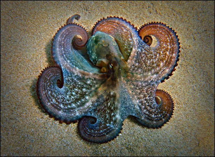 Octapus
