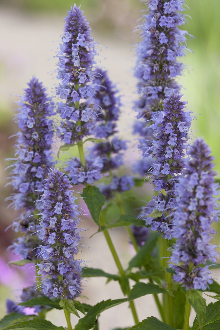 1000 images about agastache on pinterest unusual flowers sun and summer plants. Black Bedroom Furniture Sets. Home Design Ideas