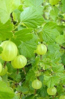 Growing Gooseberries.
