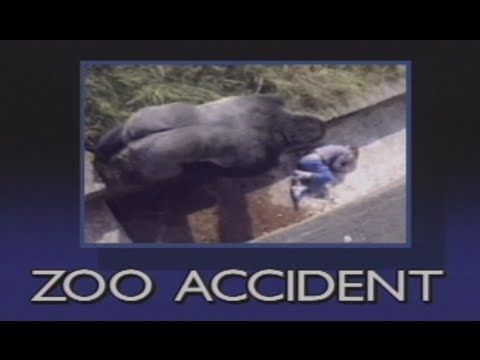 """This is a must see video clip to show while reading The One and Only Ivan.  """"The Urban Gorilla"""" shows the actual footage of the true events that took place the day a child fell into the gorilla pit. This abridged version makes the gorilla into a real hero."""