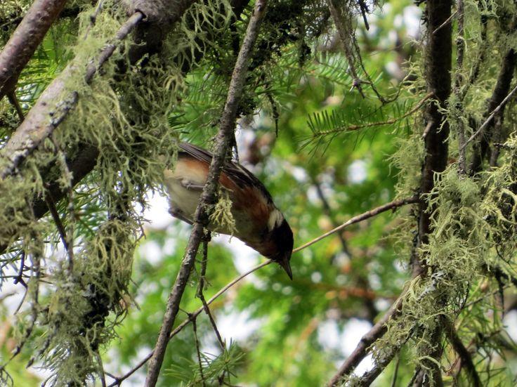 Bay-breasted Warbler - Paruline à poitrine baie - Rene Brunelle Provincial Park