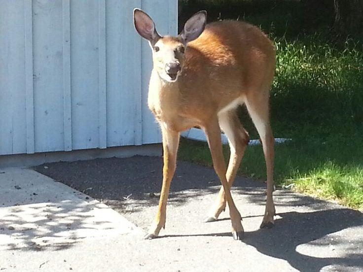 #DorsetOntario Deer