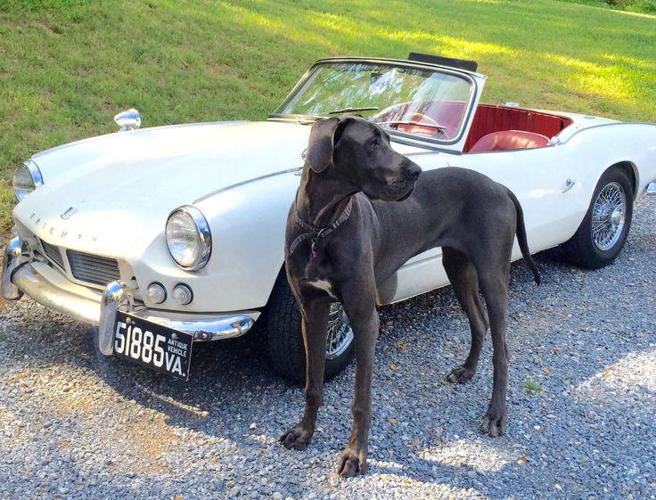 1963 Triumph Spitfire & blue Great Dane puppy, Grayson.