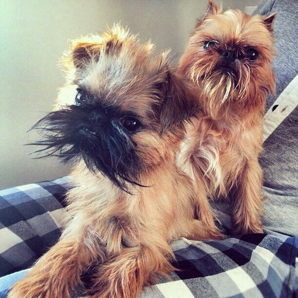 "I know to some they are cute... But my internal jury is still out! ""Brussels Griffon"" or ""Griffon Bruxellois"" dogs."