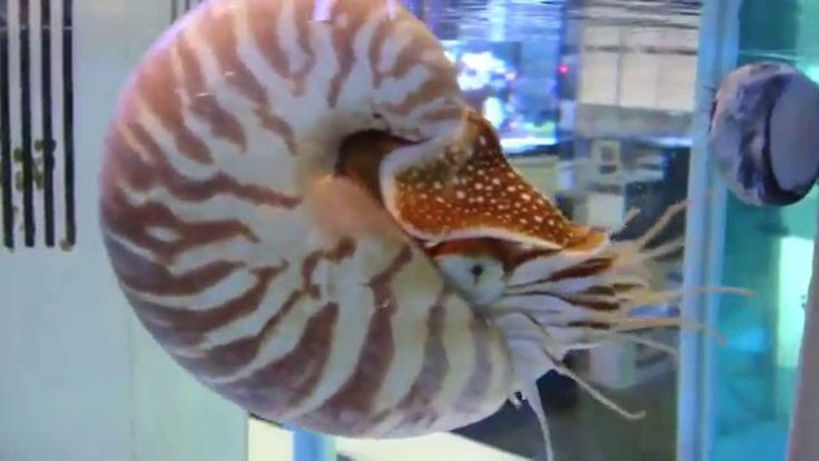 "Nautile , Nautilidae : #nautilus in an ãquarium : The nautilus is a mollusk, such as snails and mussels, being a close relative of the octopus, squid and cuttlefish of composing a large group called Cephalopoda. ""But octopus and squid have no shell!"", One would think. In fact, the group of octopuses, squid and cuttlefish, the shell became internal, being absent only in some species groups. That's why we do not see these animals with their shells."