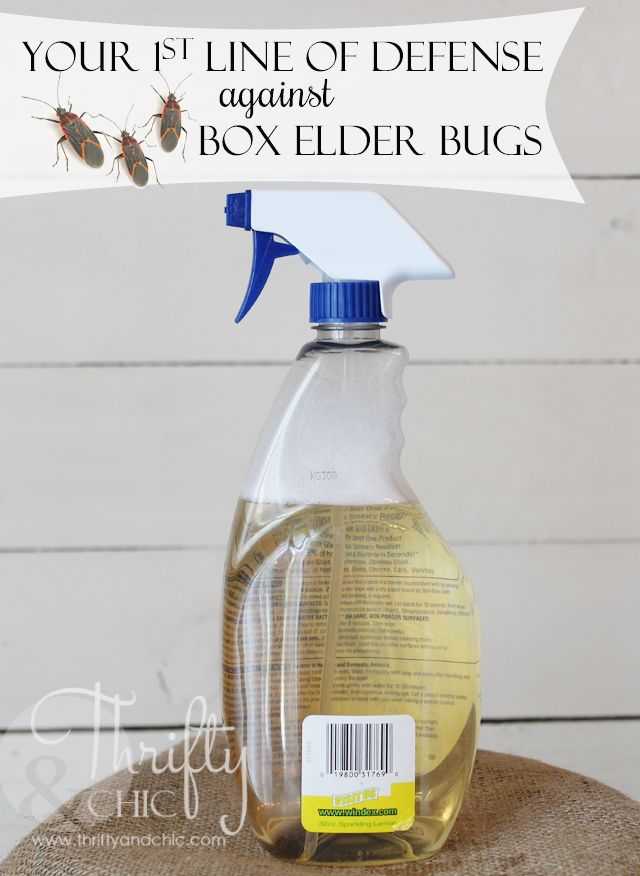 How To Rid Your House Of Those Pesky Box Elder Bugs The Safe Way