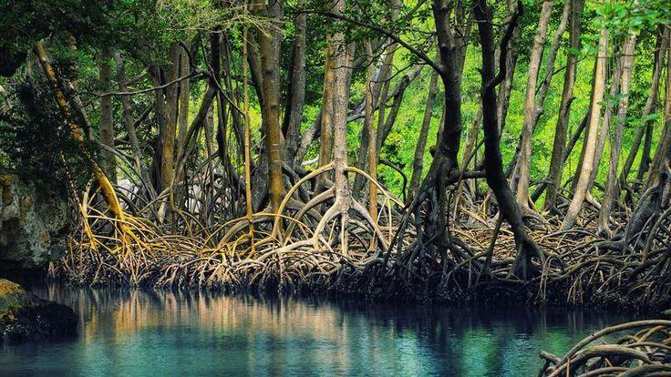 Depuis 50 ans, la moitié des mangroves ont été détruites dans le monde. Photo Anton Bielousov.