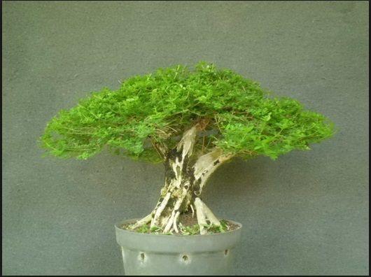 bonsai wahong sancang berkualitas