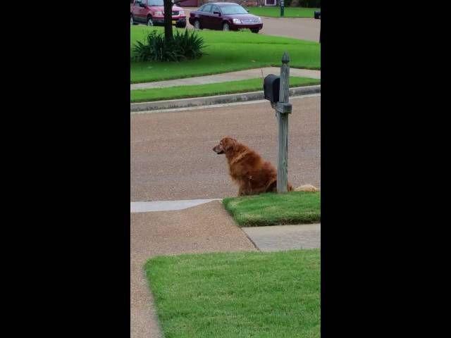 Golden Retriever Waits For Mail Truck Dogs Golden Retriever