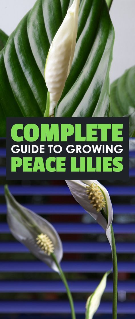 Spathiphyllum is one of the most beautiful houseplants out there. Peace lily care is surprisingly easy - learn everything you need to know here. via @epicgardening