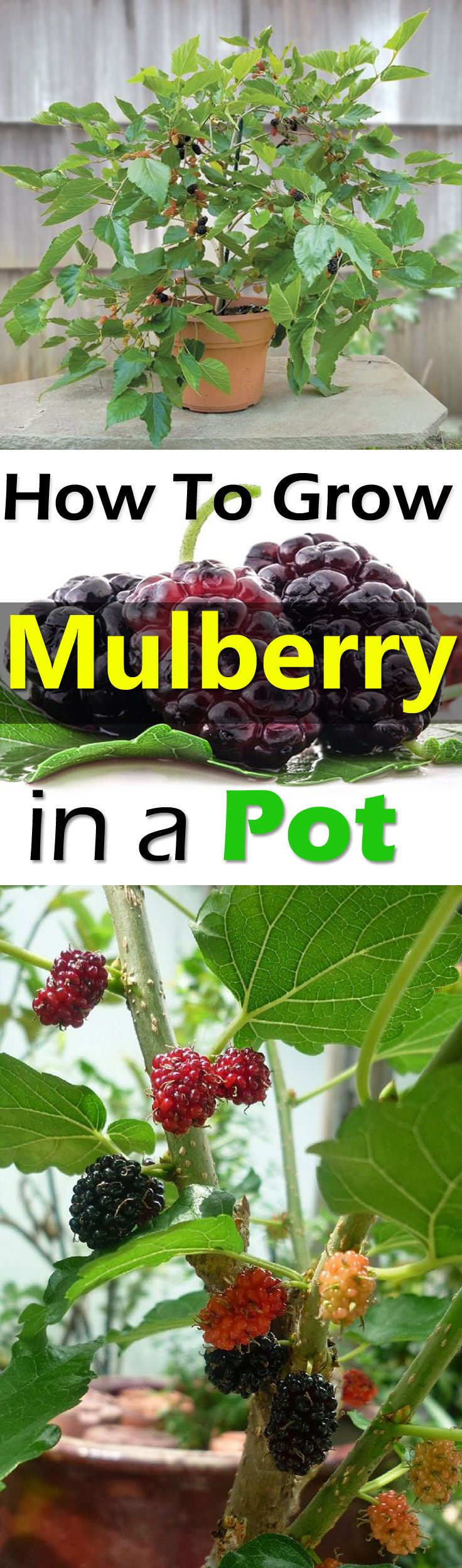 Mulberry fruits are rarely available in the market due to their short shelf life but growing them in containers can allow you to taste them FRESH. Check out!