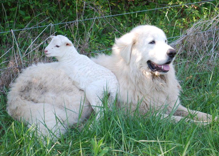 Windance Farm Maremma Sheepdog Livestock Guardian Dog Maremma