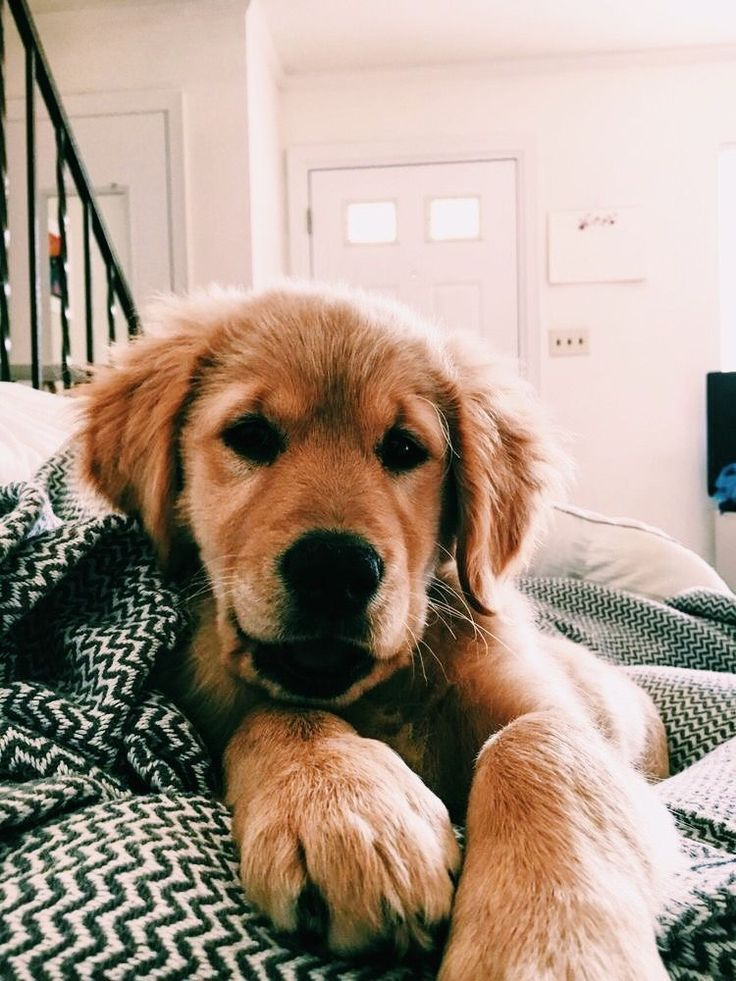 Golden Retriever Why Are They The Perfect Pets Cute Dogs Retriever Puppy Puppies