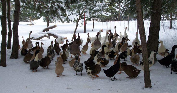 Cómo entender el comportamiento de los patos. La mayoría de la gente mira a los patos como aves acuáticas y nada más. No se dan cuenta que estas aves tienen personalidades muy interesantes, únicas e inusuales. Después de haber pasado una cantidad de tiempo considerable en torno a los patos domésticos puedo darte una idea interesante de qué ocurre en la mente de un pato.