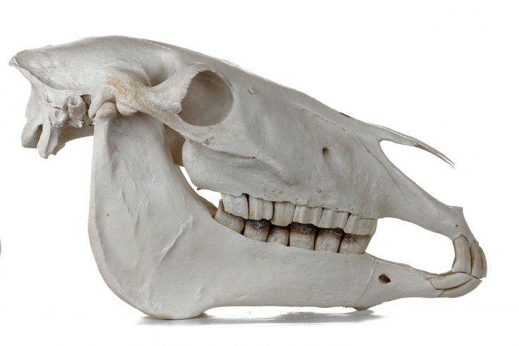 Donkey skull (Equus africanus asinus). Image: Naturhistorisches Museum Mainz / Landessammlung für Naturkunde Rheinland-Pfalz (CC BY-NC-SA).