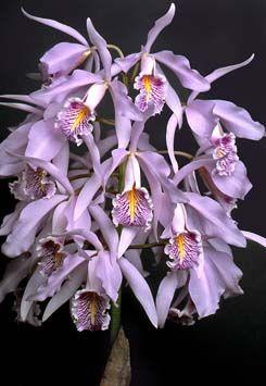 Cattleya maxima 'Crownfox Delicado' AM/AOS, 82pts Exhib: R.F. Orchids W. Palm Beach judging; 5-26-01