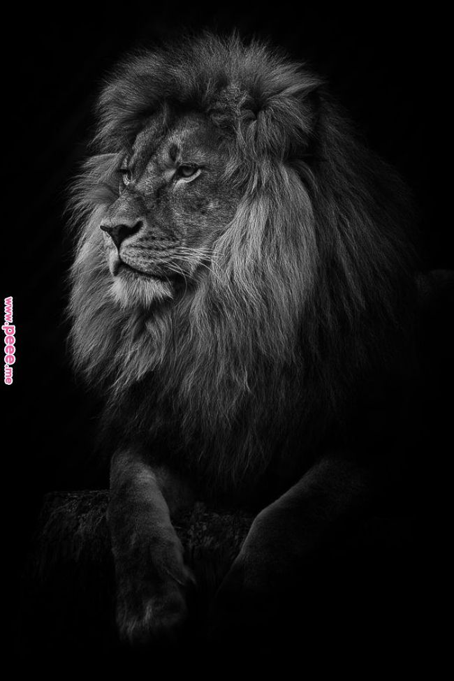 What A Kitten Lion Pinterest Animals Lion Love And Lion What A Kitten Lion Pinterest Anim Wild Animal Wallpaper Lion Photography Lion Pictures