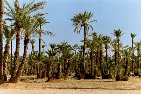 Marrakech, la palmeraie