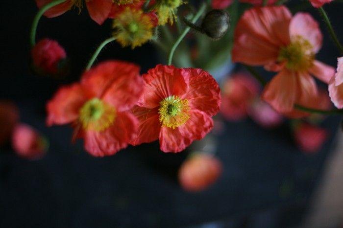 icelandic poppies