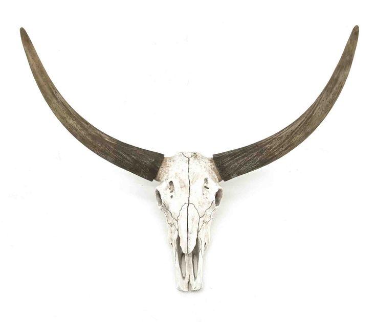 Ox head skull