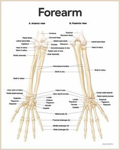 Forearm Anatomy-Skeletal System Anatomy and Physiology for Nurses https://nurseslabs.com/skeletal-system/