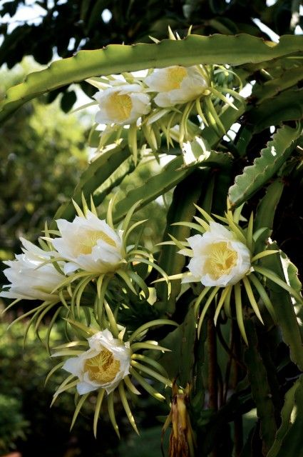 dragon fruit flowers of a cacti family of plants in the night blooming cereus family