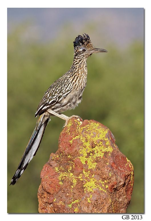 GREATER ROADRUNNER  is a long-legged bird in the cuckoo family. The breeding habitat is desert and shrubby country in the southwestern United States and northern Mexico. It can be seen regularly in the US states of California, Arizona, New Mexico, Texas, Nevada, Utah, Colorado, Oklahoma, and less frequently in Kansas, Louisiana, Arkansas and Missouri, as well as Mexico. The greater roadrunner nests on a platform of sticks low in a cactus or a bush and lays 3–6 eggs, which hatch in 20 days.