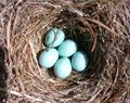 Bluebird nesting habits, timetable, nestboxes, etc. What bluebirds need for nesting.