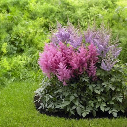 The feathery plumes of astilbe hybrids weave textural color into shade plantings. Look for varieties that unfurl flowers in red, pink, white or lavender. Astilbe blooms in summer. By planting a mix of early-, mid- and late-flowering types, you can savor season-long color. Plants are deer-resistant. Mass them for an easy-care groundcover. Hardy in Zones 4 to 8.
