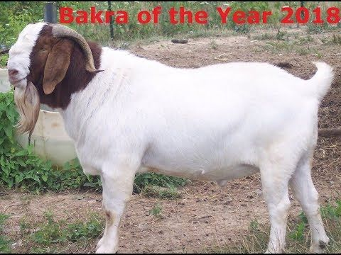 Heavy Bakra | Bakra Mandi 2018 | Entertainment | Boer goats
