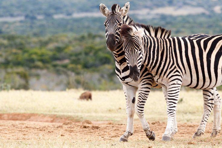 Whisper In Your Ear - Burchell's Zebra Whisper In Your Ear - Burchell's zebra is a southern subspecies of the plains zebra. It is named after the British explorer and naturalist William John Burchell.