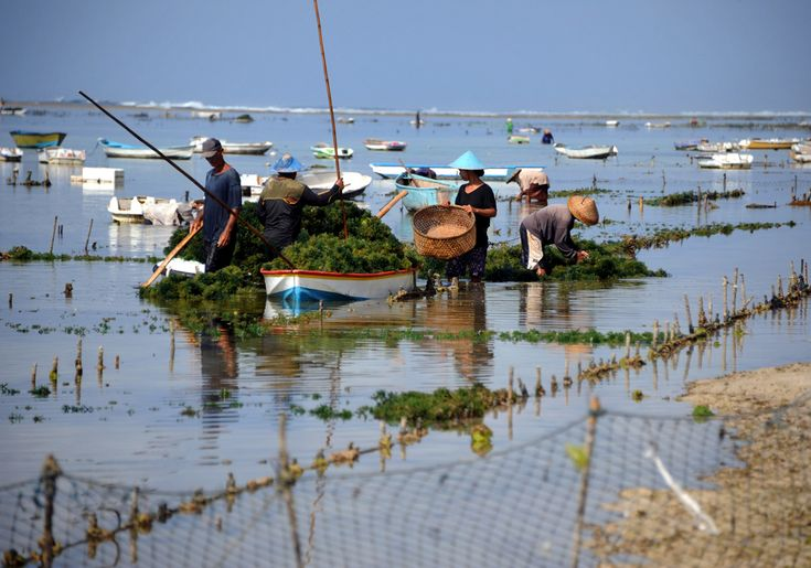 Workers collect seaweed along Pandawa beach in Jimbaran on Bali on November 6, 2012. Hundreds of people earn their livelihood by collecting and selling seaweed, a popular dish across the region. (Sonny Tumbelaka/AFP/Getty Images)
