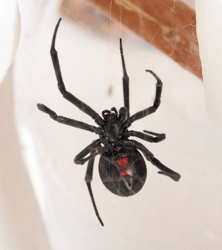 A western black widow. One of the few species harmful to people in North America, a black widow often features a red hourglass shape on its underside.
