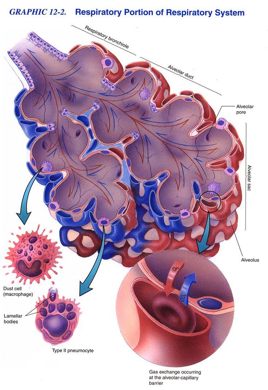 Alveolar Capillary Gas Exchange. ¡Que buen dibujo para explicar su estructura!