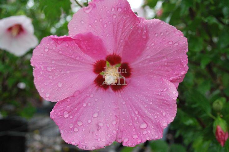Fleurs rose foncé au centre rouge. Floraison en août et septembre sur un feuillage foncé. Croit en sol ni trop sec, ni trop humide et riche en matière organique. Les fleurs sont comestibles et peuvent être ébouillantées pour en faire des thés ou des jus. Attire les papillons. À planter dans les endroits abrités des vents hivernaux.