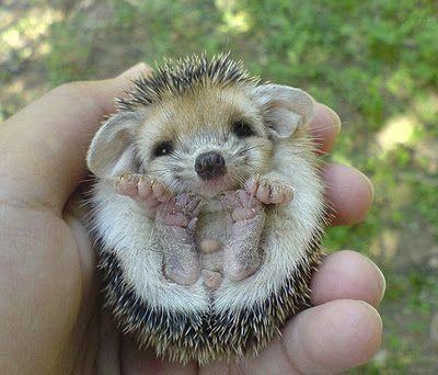Hedgehog so precious