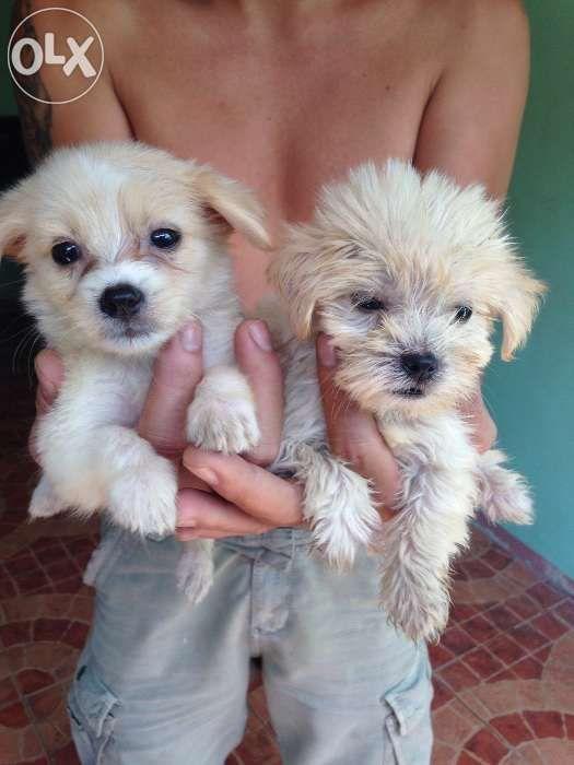 Olx Puppies