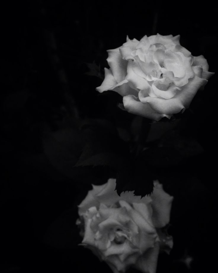 The darkness of the beautiful rose..