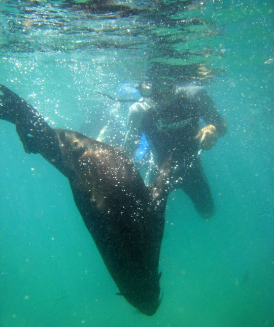 Swimming with seals in South Africa