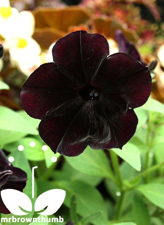 Black Cherry Petunia