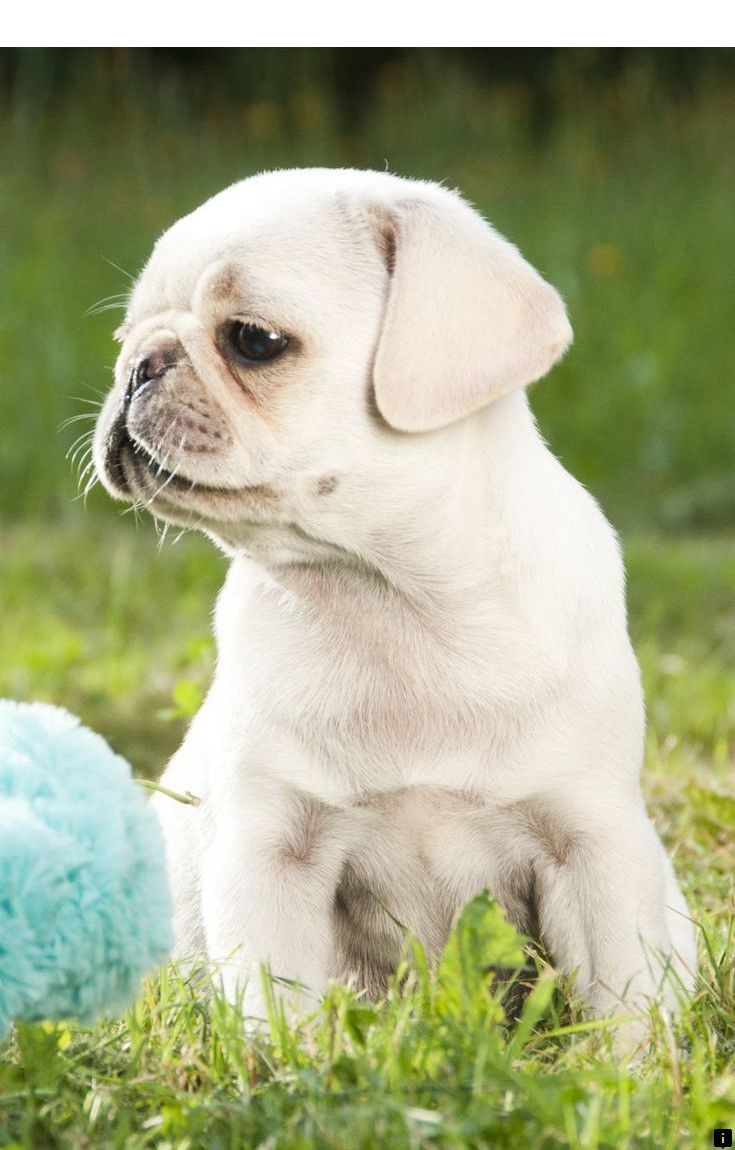 Read More About White Pug Puppies For Sale Please Click Here For
