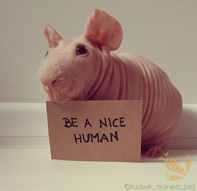 Best NakedSkinnyHairless Guinea Pigs Images On Pinterest - Ludwig the bald guinea pig is winning the internets hearts